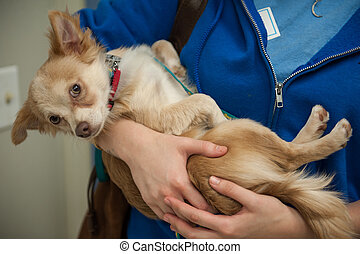 Puppy in arms - Little Chion dog lies in the arms of a...