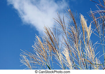 Pampas grass against the blue sky
