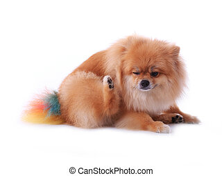 brown pomeranian dog scratching isolated on white...