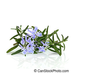 Rosemary Herb in Flower - Rosemary herb leaf in flower over...
