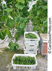 cucumbers in a box - greenhouse, cucumbers in a box