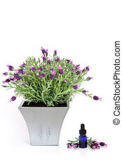 Lavender Herb Plant and Essence - Lavender herb plant in...