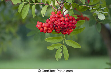rowanberry on the green background close up