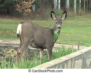 Young deer eating parsley out of the garden