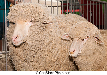 two rams in a cage close up
