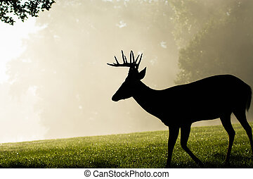 White-tailed deer buck on foggy morning - Whitetailed deer...