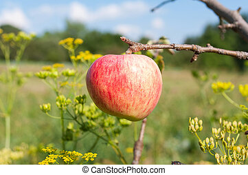 Single apple - Apple of rural trees in natural light
