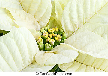 Poinsettia - Center of a beautiful white Christmas flower,...