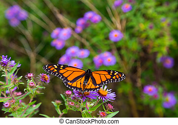Monarch butterfly on flowers with its wings spread