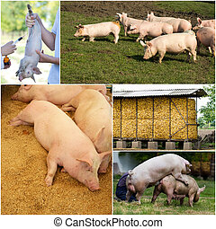 Pig farm collection - Collage of images showing piglets and...
