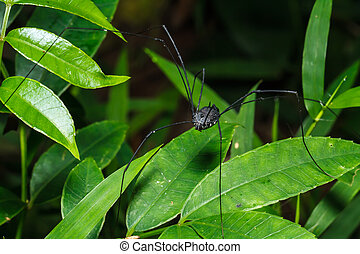 Black spider long legs