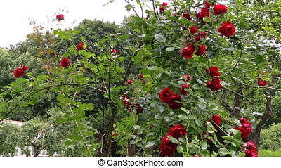 rose bush pregnant woman - red rose bush and pregnant happy...