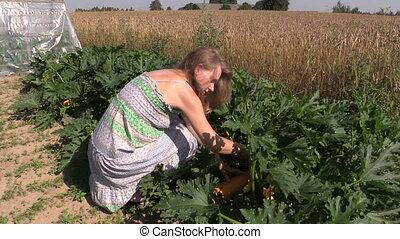 girl pick zucchini garden - young country woman pick ripe...