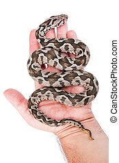 Viper snake - Common viper snake on human hand isolated on...