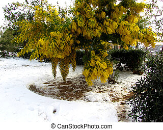 Mimosa tree in the snow