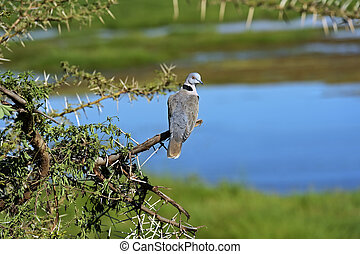 Wild pigeon on a branch in the African savanna