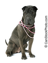 shar pei - female shar pei in front of white background