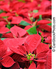 Red poinsettia flowers - Beautiful red poinsettia flowers...