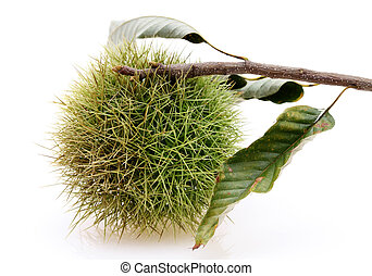 chestnuts bur - branch of chestnuts bur on white background