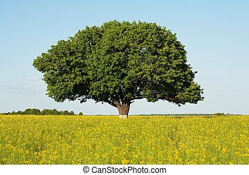 Single tree in canola field - Single tree in a canola field...