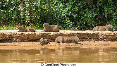 Capybara family in riverbank, Brazilian Pantanal....