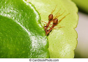 two ant on leaf