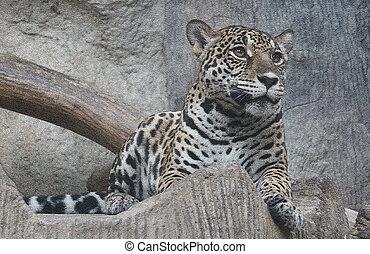 Jaguar sit down