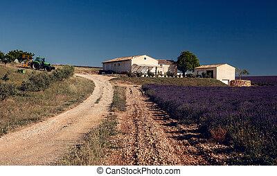Lavender flowers blooming field - Lavender flower blooming...