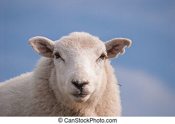 Sheep's face. - Sheep's face showing an ear that has been...
