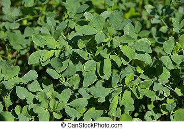 Un, Pocos, sprigs, alfalfa, hojas