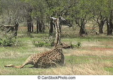 Masai Giraffe relaxing in the afternoon