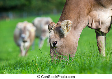 Cow eating grass in field