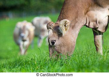 krowa, jedzenie, trawa