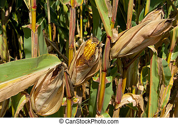An ear of field corn drying on the stalk.