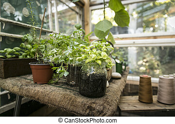 Greenhouse with herbs (basil, parsley, oregano)