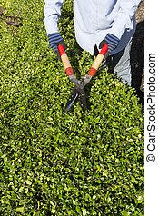 Pruning bushes in the garden. Autumnal garden work.