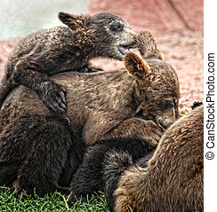 Pile On - Baby black bears pile onto one another during...