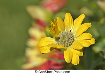 Yellow osteospermum - Yellow gerbera,osteospermum isolated...