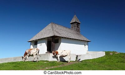 White and brown cows in the mountain pastures near the...