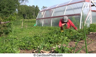 gardener weed bed berry - senior gardener woman weed...