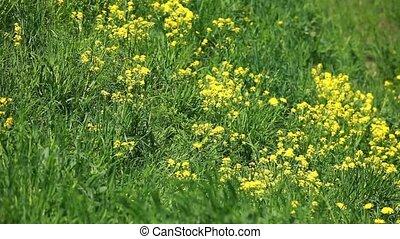 wind rustles yellow flowers on a gr