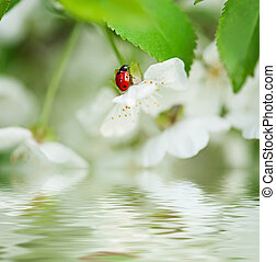 Cherry flowers - Blossoming of cherry flowers in spring time...