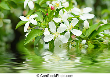 Apple tree flower blossoming at spring time with water...