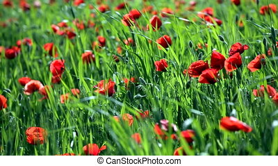 Field with blossoming poppies