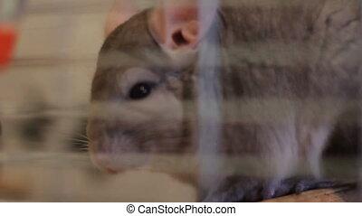 chinchilla in cage - beautiful chinchilla in cage closeup
