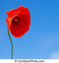 Big flower of wild red poppy on blue sky background -...