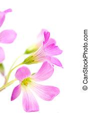 Pink flowers of Oxalis corymbosa isolated on white