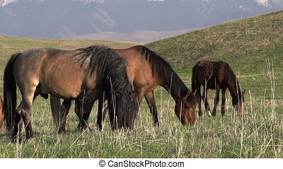 Horse, Mare and Foal - Small herd Grazing on a Beautiful...