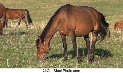 Mare on Spring Pasture - Grazing mare with long mane lit up...
