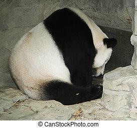 Panda Bear - A mature Panda Bear in captivity